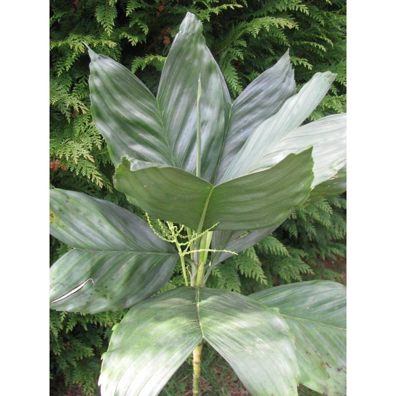 Chamaedorea metallica feuilles