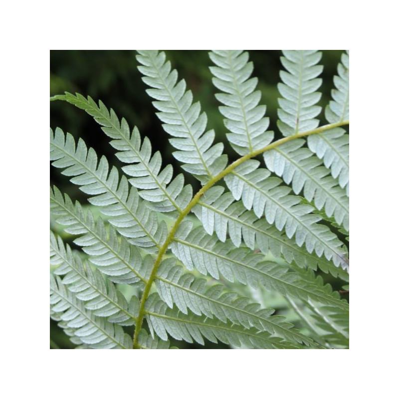 Cyathea dealbata feuilles