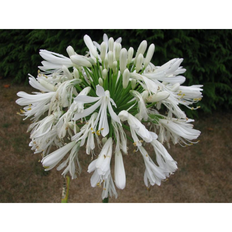 Agapanthe alba géante fleur
