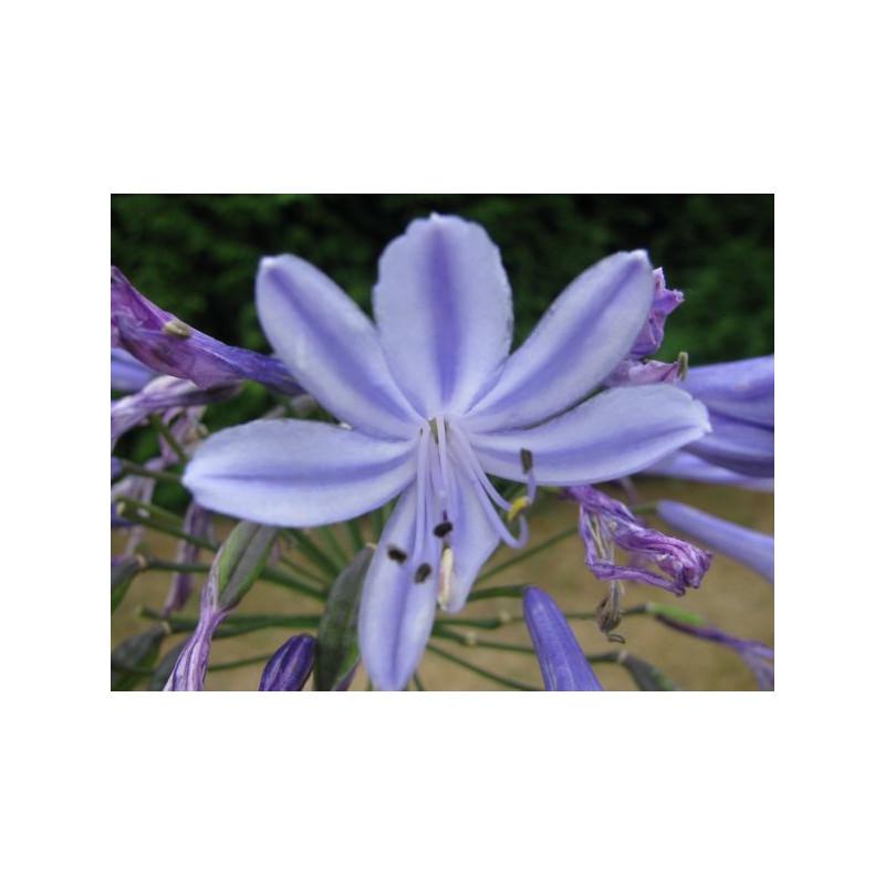 Agapanthe Dr Brouwer fleur