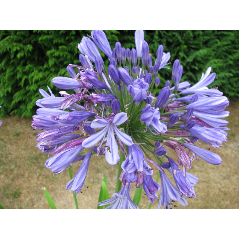 Agapanthe Rosewarne blue fleur