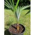 Trachycarpus princeps x sp nova