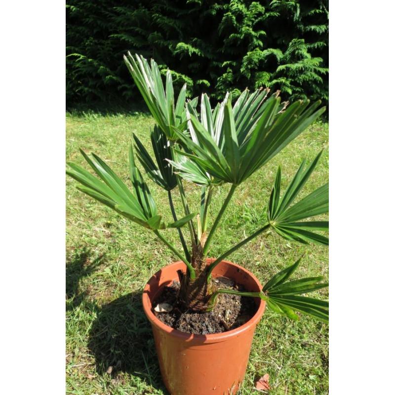 Trachycarpus wagnerianus 2 litres