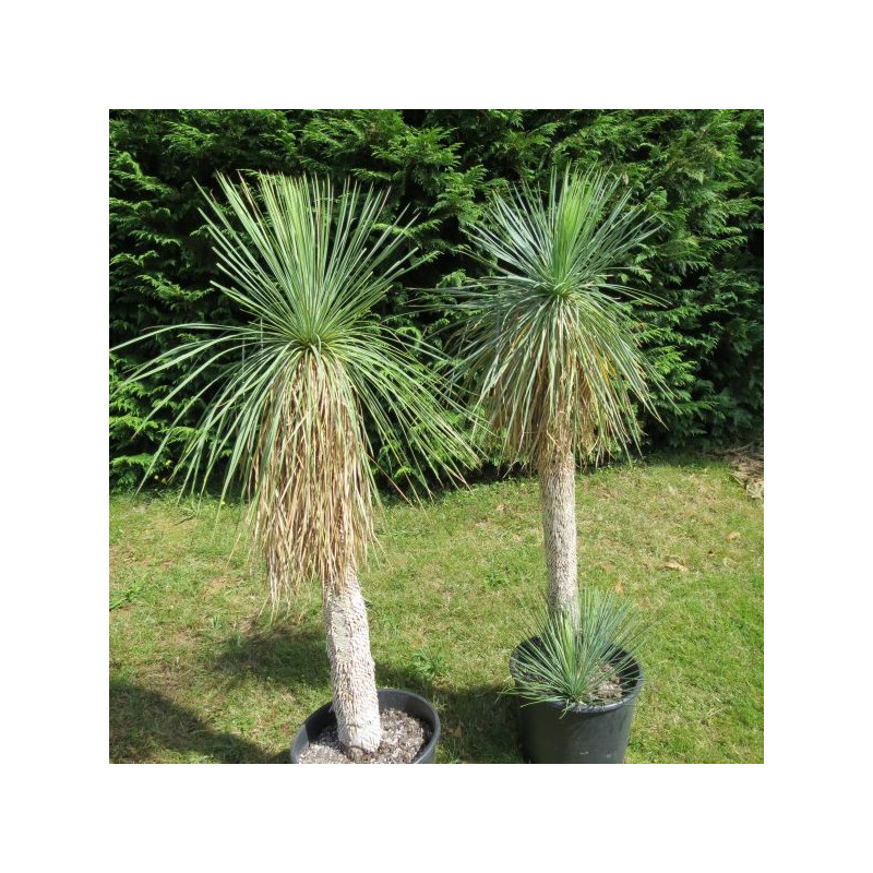Yucca linearis bleu stipe 1 m