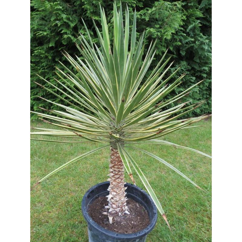 Yucca aloifolia variegata 15 l