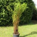 Cyathea tomentosissima 7 l