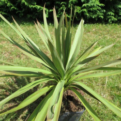 Cordyline australis mini