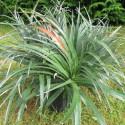 Fascicularia pitcairniifolia 5 l