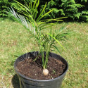 Macrozamia johnsonii 4 litres