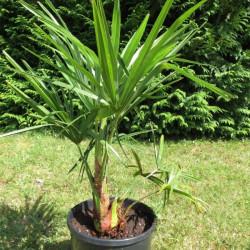 Trachycarpus takil