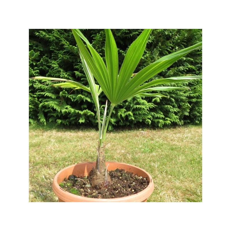 Trachycarpus latisectus palmier rustique d 39 inde for Cactus exterieur resistant au froid