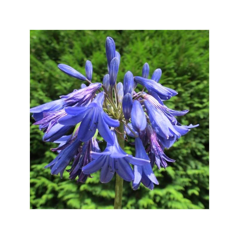Agapanthe cobalt blue