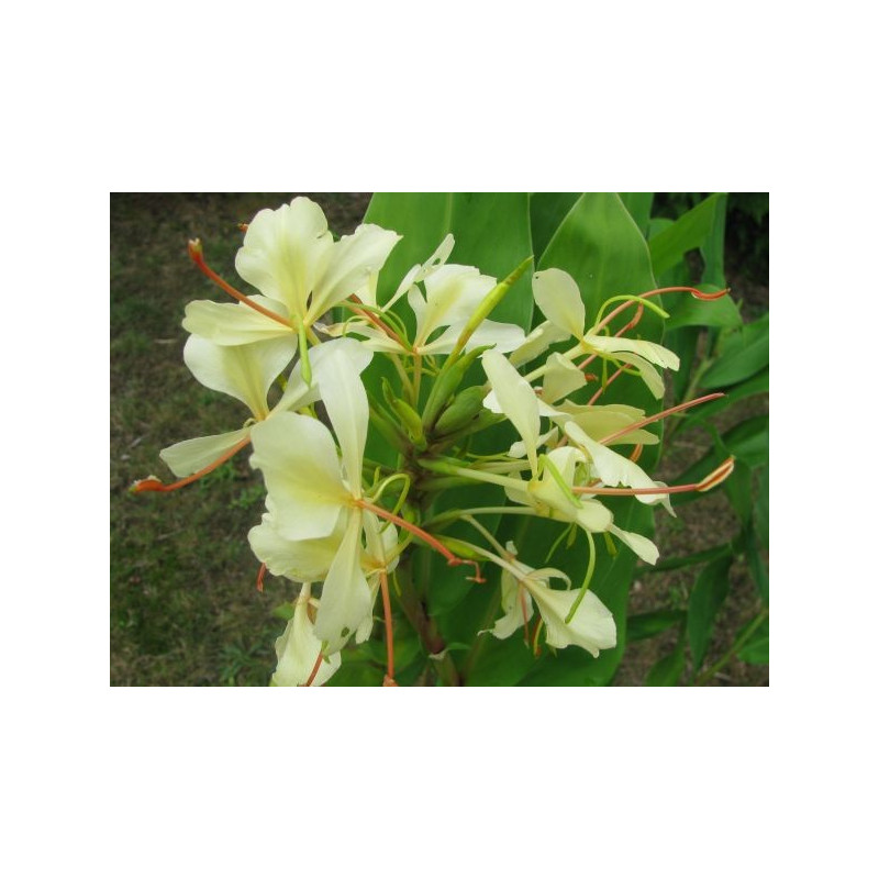 Hedychium dixter