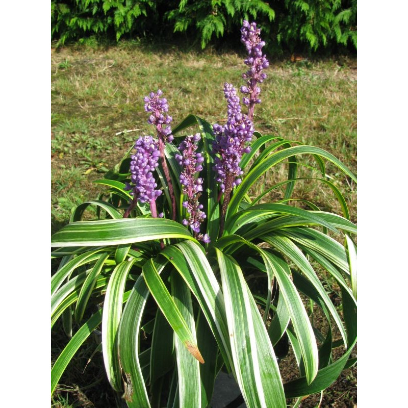 Liriope spicata 'gold banded'