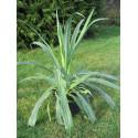 Beschorneria yuccoides 'quicksilver'