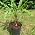 Trachycarpus nainital