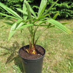 Trachycarpus nainital 4 l