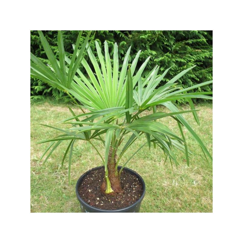 Trachycarpus fortunei x wagnerianus 7 l