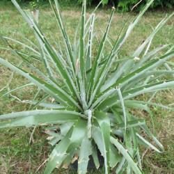 Puya chilensis 4 l