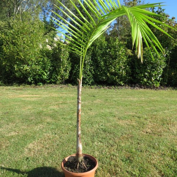 palmier tronc fin