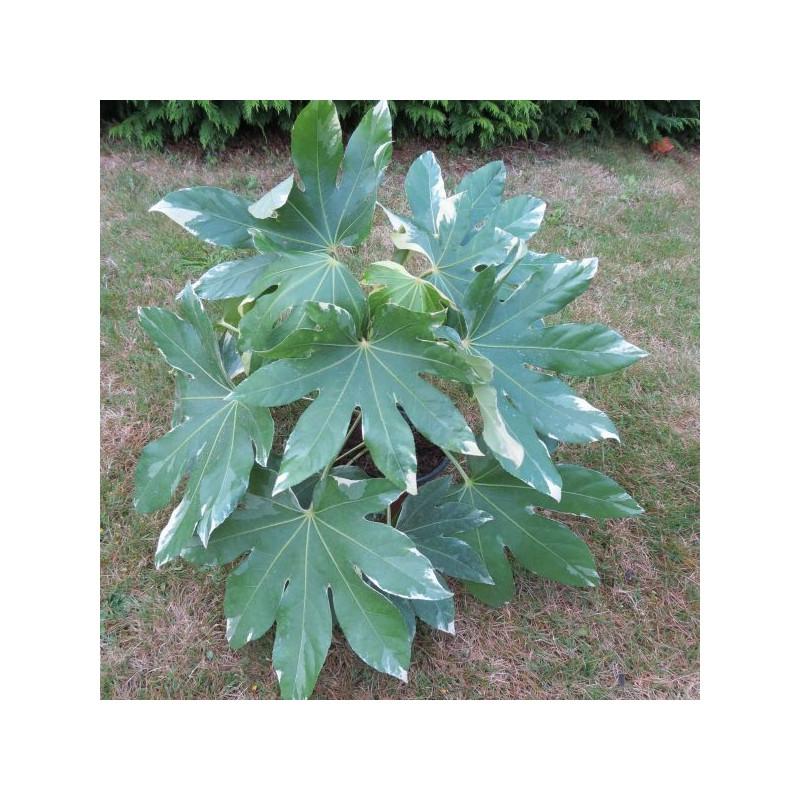 Fatsia japonica variegata 4 l