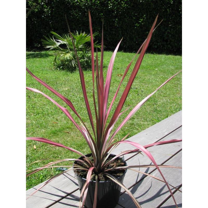 Cordyline australis 'pink stripe'