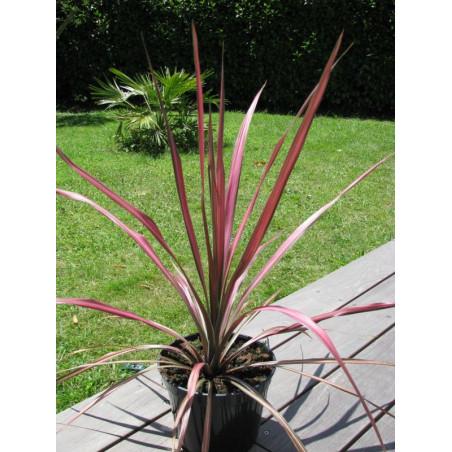 Cordyline pink stripe