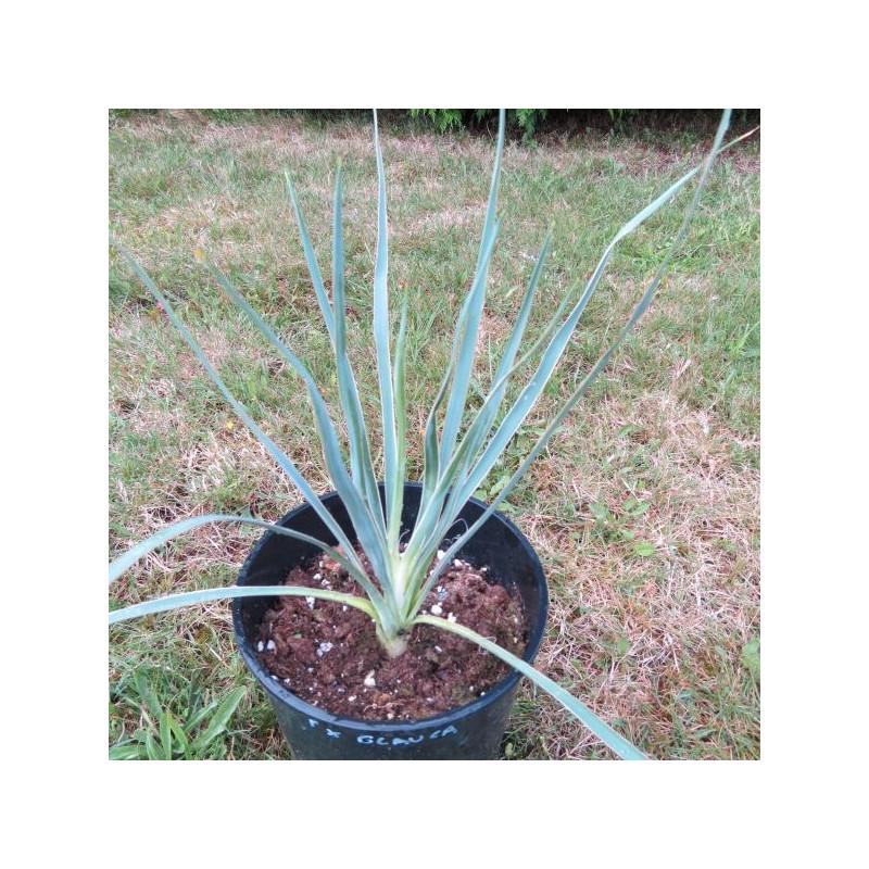 Yucca filamentosa x glauca