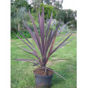 Cordyline australis 'purple tower'