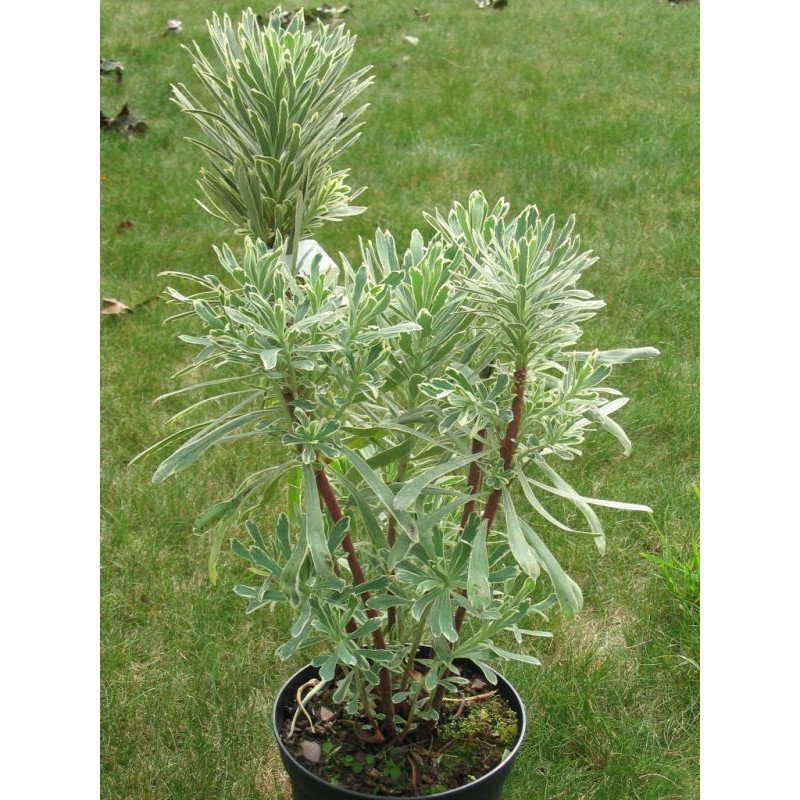 Euphorbia characias 'silver swan Wilcott'