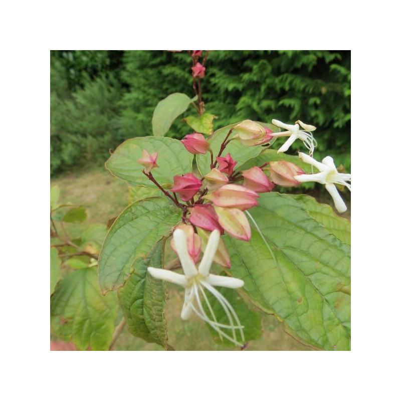 Clerodendrum trichotomum fargesii fleurs