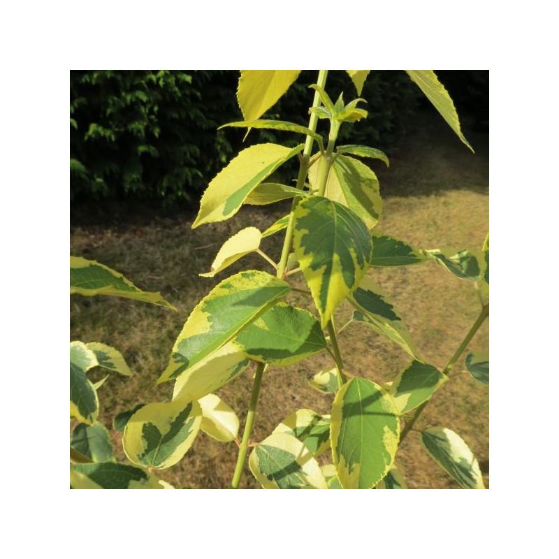 Aristotelia chilensis variegata