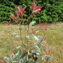 Photinia 'pink marble'® Cassini