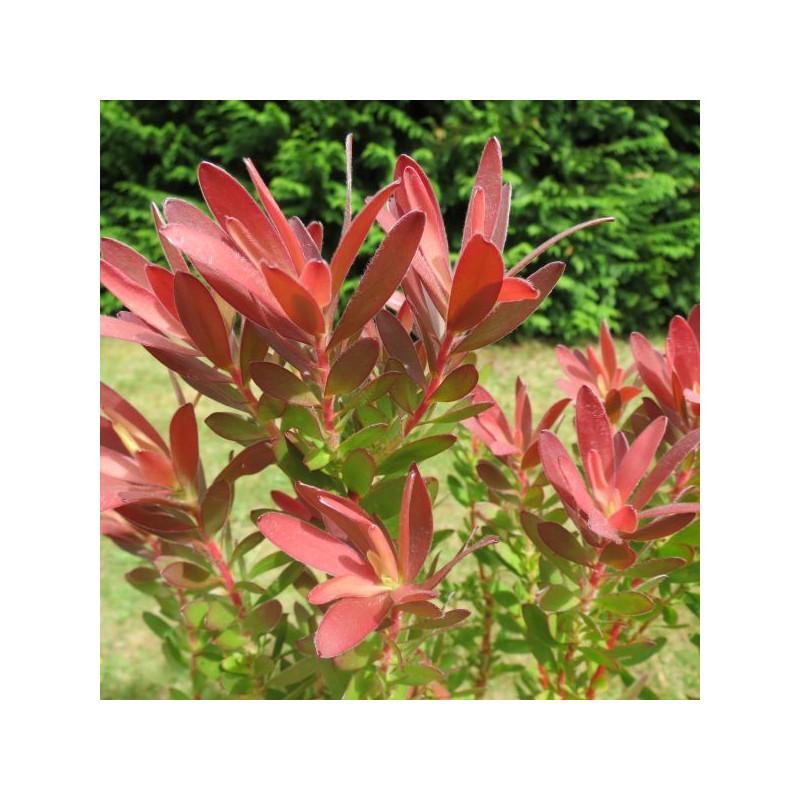 Leucadendron 'fireglow'