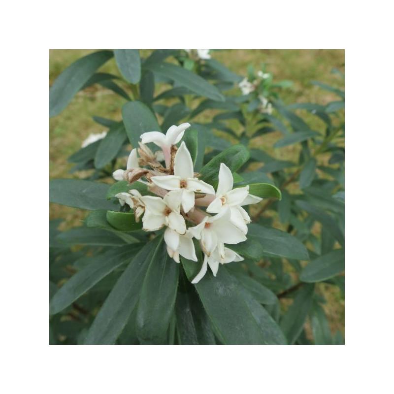 Daphne 'eternal fragrance'®