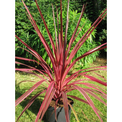 Cordyline sunrise
