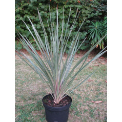 Cordyline australis 'pink Champagne'