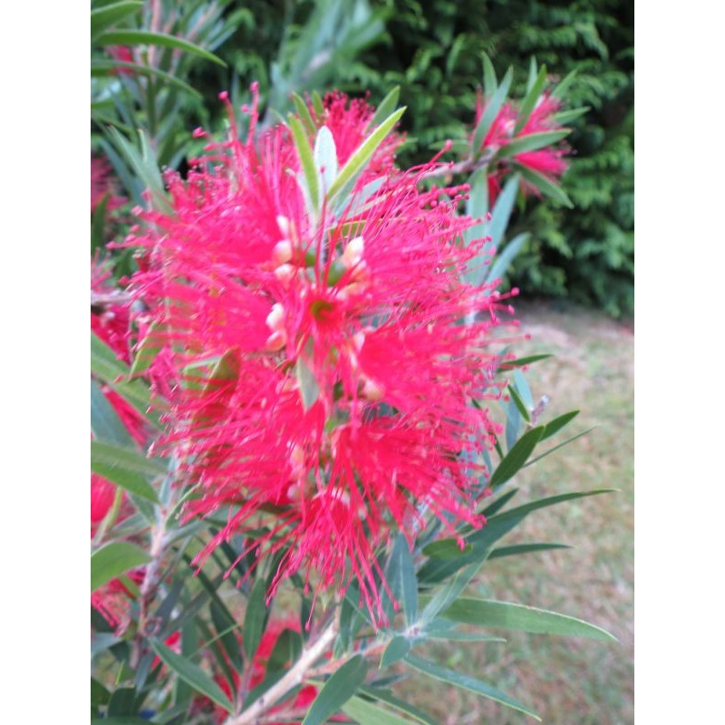 Callistemon mini red