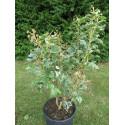 Fatshedera lizei variegata