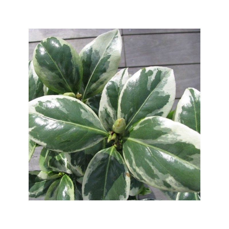 Camellia japonica Kerguelen®