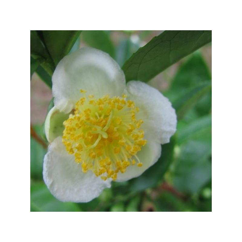 Camellia sinensis, théier