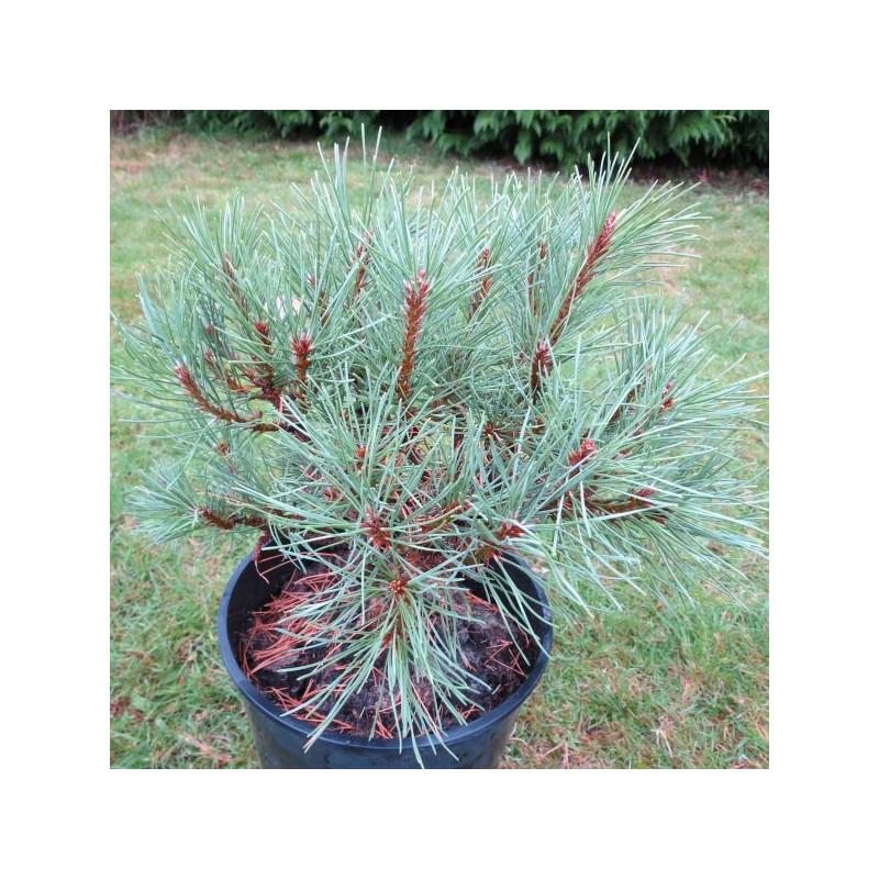 Pinus mugo Ophir