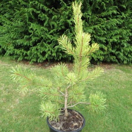 Pinus sylvestris winter gold