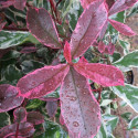 Photinia pink marble® Cassini