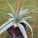 Kniphofia caulescens John May's form