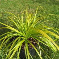 Carex oshimensis everillo®