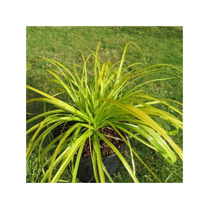 Carex oshimensis everillo®