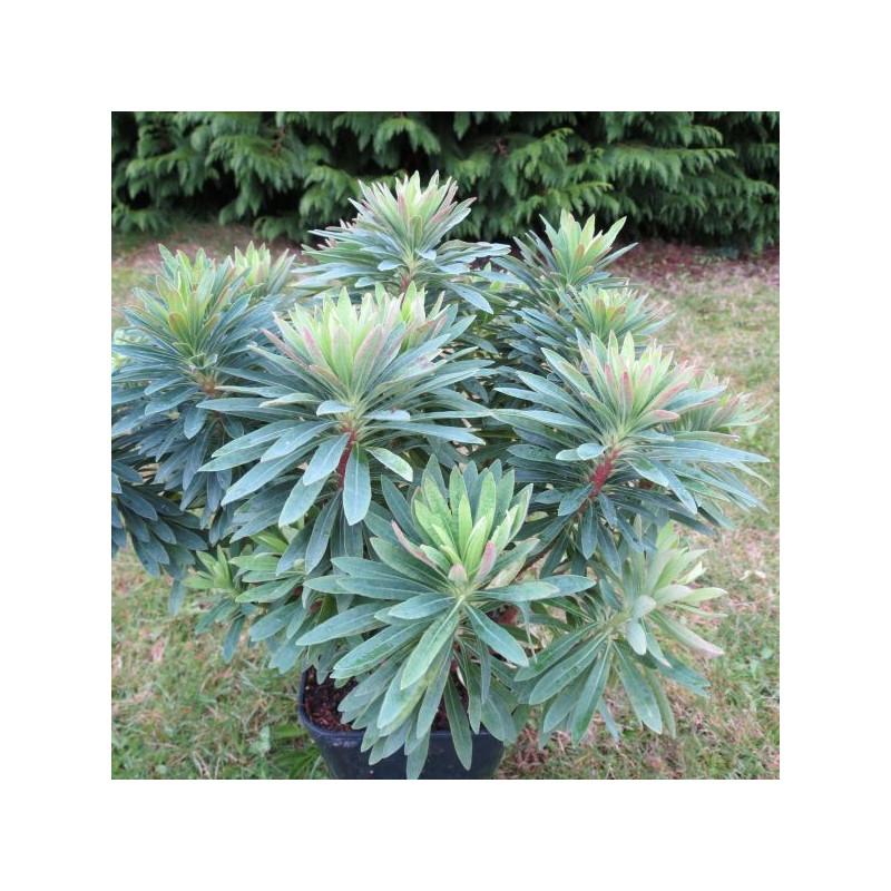 Euphorbia baby charm