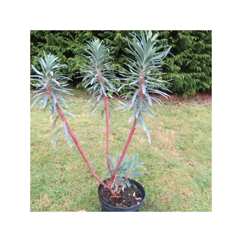 Euphorbia blue wonder