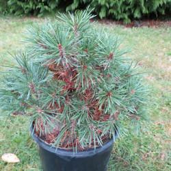 Pinus mugo Mop's